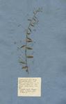 Convolvulus foliis subovatis obtuis petiolatis