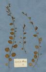 Convolvulus persicus