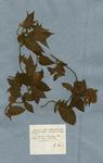 Convolvulus foliis cordatis pubescentibus