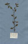Corchoro affinis chamaedrios