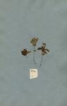 Cornus herbacea