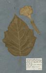 STRAMONIUM folio Hyosciami