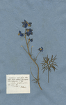 DELPHINIUM nectariis diphyllis