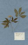 DENTARIA pentaphyllos