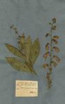 DIGITALIS calycinis foliolis acutis