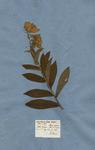 DIGITALIS lutea magno flore