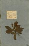 DIGITALIS calycinis foliolis lanceolatis