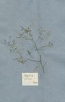 Fagonia cretica