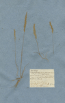 Festuca clodiensis