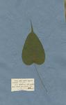 FICUS foliis cordatis integerrimis acuminatis