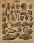 Foraminifera. Protozoa. Foraminifera