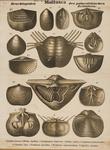 Mollusca. Brachiopoden des palaeolithischen Zeitalters