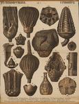Echinodermata. Crinoidea
