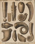 Mollusca. Cephalopoda. Tetrabranchiata