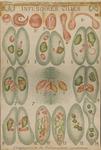 Infusoires Ciliés. Conjugaison du Paramecium caudatum