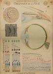 Organes de la vue. L'oeil et la rétine