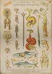 Copépodes parasites