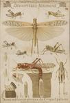 Orthoptères - Acridiens. Demi-métamorphoses du Criquet pélerin. Schistocerca peregrina