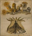 Anthozoa. Polyactinia. Astroides calycularis