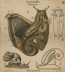 Gastropoda. Pulmonata. Helix pomatia