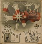 Anthozoa. Octactinia