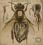 Hymenoptera. Apis mellifica. I