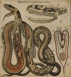 Ophidia I. Tropidonotus natrix