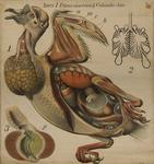 Aves I. (Situs viscerum). Columba dom