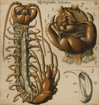 Myriopoda. Lithobius