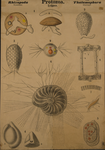 Protozoa. Rhizopoda. Thalamophora