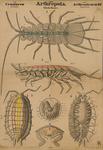 Arthropoda. Crustacea. Arthrostraca (II)