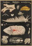 Molluska. Gastropoda. Opisthobranchiata