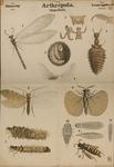 Arthropoda. Insecta. Neuroptera