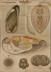 Mollusca. Lamellibranchiata. Asiphoniae