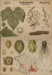 Arthropoda. Insecta. Rhynchota