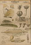 Arthropoda. Jnsecta. Lepidoptera