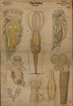 Vermes. Rotiferi. Gastrotricha