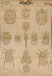 Arthropoda. Arachnoidea. Acarina. II