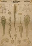 Arthropoda. Arachnoidea. Linguatulida
