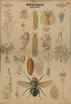 Arthropoda. Insecta. Diptera