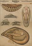 Mollusca. Lamellibranchiata. Taxodonta, Anisomyaria