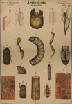 Arthropoda. Insecta, Hexapoda. Coleoptera
