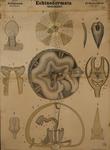 Echinodermata. Actinozoa. Echinoidea