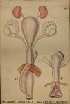 Organi genitali dell'ornitorinco