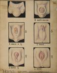 Homo. Sviluppo organi genitali