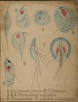 Cercomonas parva. C. hominis. Trichomonas vaginalis. Prowazekia. Lamblia intestinalis