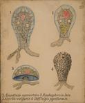 Quadrula symmetrica. Hyalosphenia lata. Arcella Vulgaris. Difflugia pyriformis