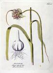Allium off. - Allium sativum bot.