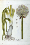 Allium Porrum