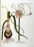 Allium viviparum